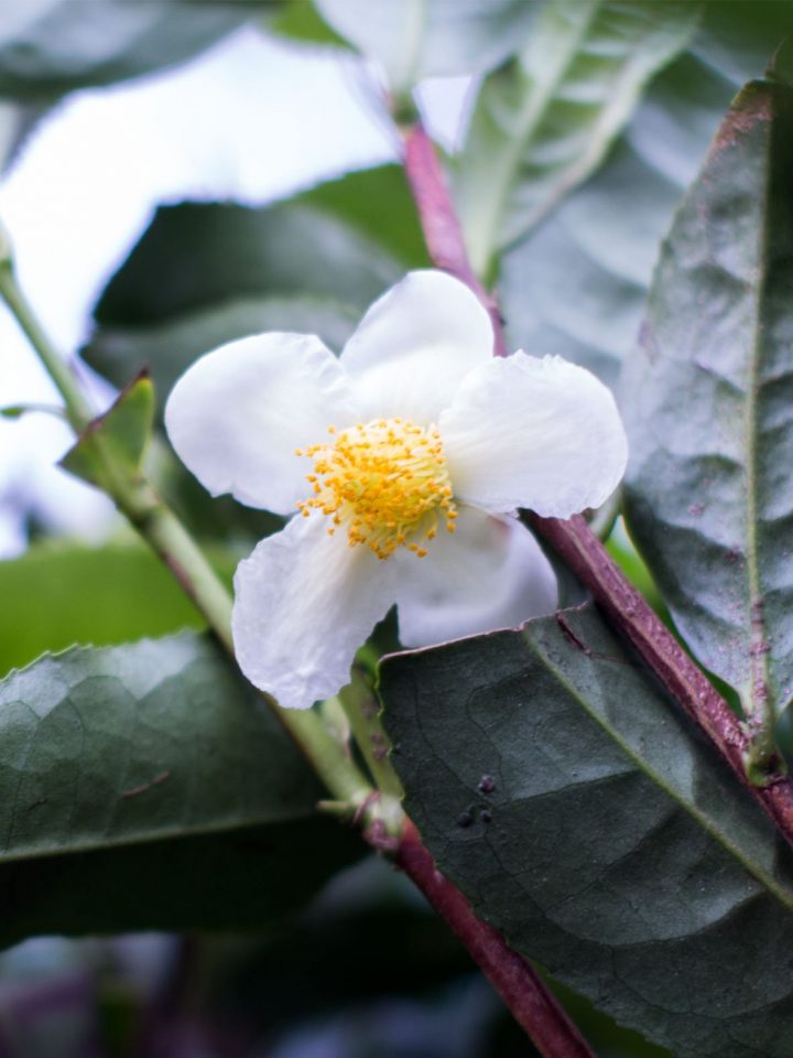 camellia sinensis flor
