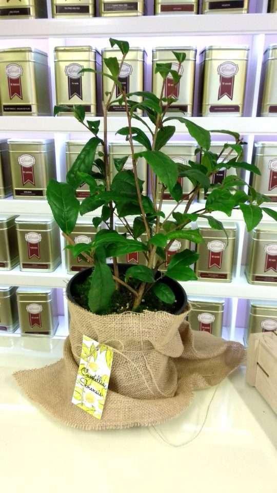 Planta de Camellia Sinensis